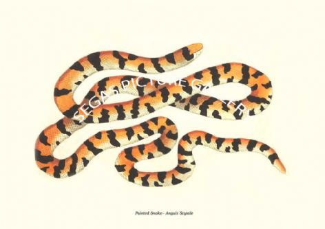 Fine art print of the Painted Snake - Anguis Scytale by Frederick Polydore Nodder